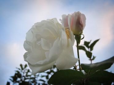 white-rose-021116