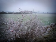frosty-field-with-rose-hips