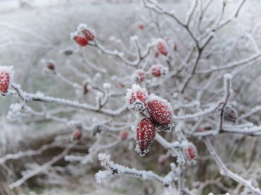 Photo of rime frost on rose hips