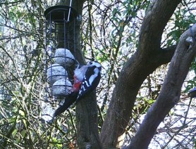 Photo of great spotted woodpecker