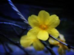 Photo of winter Jasmine flower