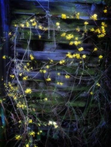 Photo of winter jasmine climbing fence