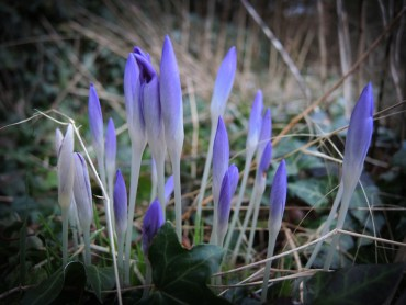 crocus-clump