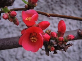quince-flowers-190217