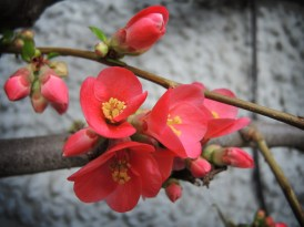 quince-flowers-240217
