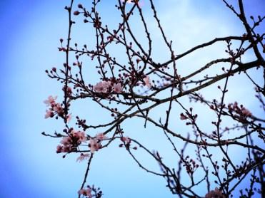 cherry-plum-030317-a