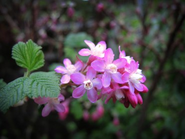 flowering-currant-110317