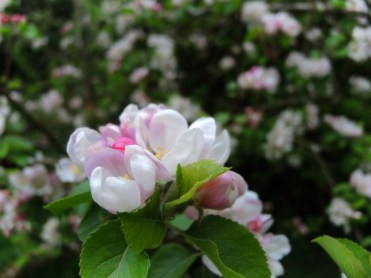 apple-blossom-200417-b