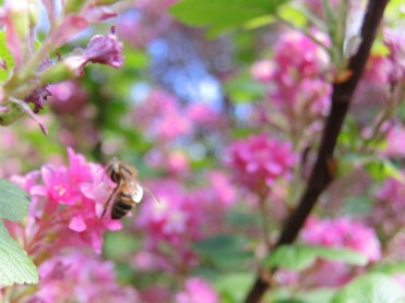 bee-flowering-currant-060417