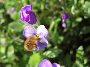 bee-fly-050417-c