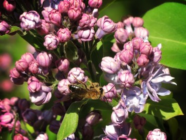 bee-lilac-060417