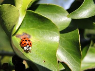 harlequin-ladybird-050417