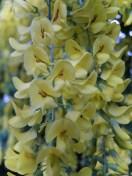 laburnum-flowers-020517