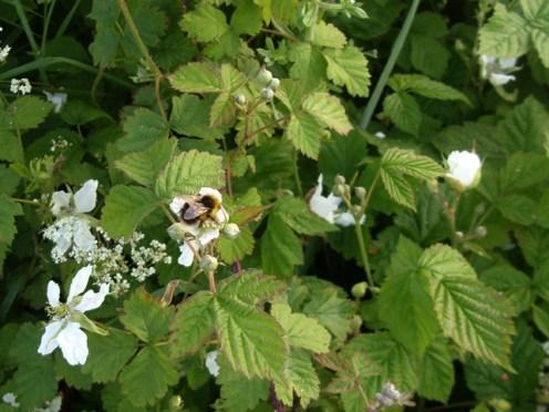bee-bramble-230517-b
