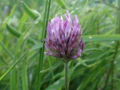 red-clover-230517