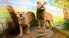 the only lions I've seen this year LOL!