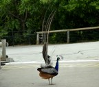 this peacock has had a bad day