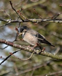 Rose-coloured Starling (2cy juv)