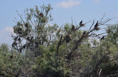 Nesting Great Cormorant