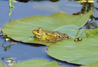 Greek Marsh Frog