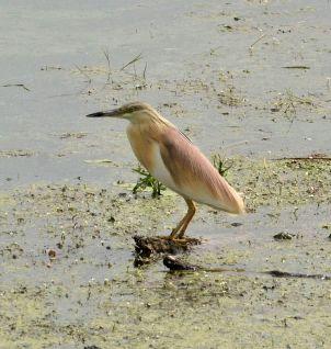 heron.squacco.1708 mandraki