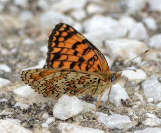 lesser spotted fritillary.1703 macedonia
