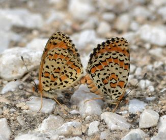 Lesser Spotted Fritillary (mating pair)