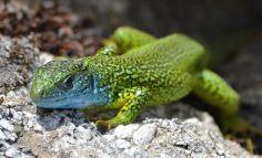 Common Gereen Lizard