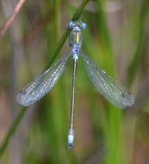 Scarce Emerald (male)