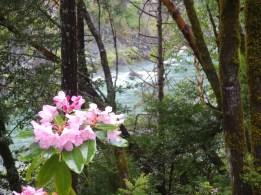 Rhododendron, along the Smith River, California
