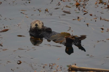 Sea Otter lounging on the kelp bed