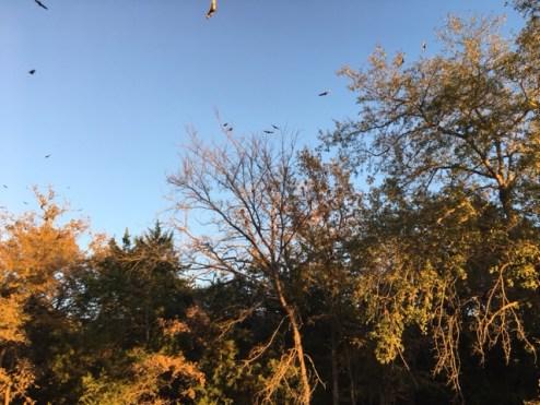 vultures-fairfield-lake-sp