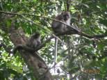 Macaque Monkey_4