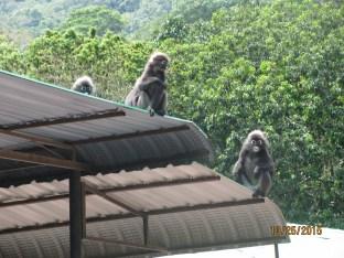 Dusky Leaf Monkeys_2