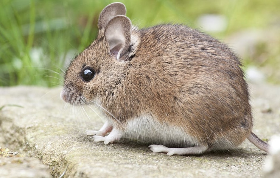 House & Deer Mice | Pest Info | Rambo Total Pest Control