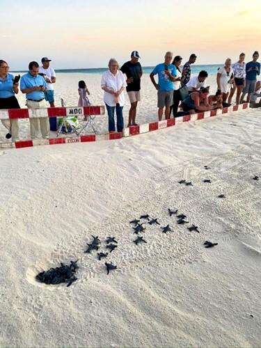 Ad Aruba, nei Caraibi, si può ammirare la nascita delle tartarughe marine  Image of Ad Aruba, nei Caraibi, si può ammirare la nascita delle tartarughe marine