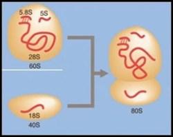 ribosome 80S
