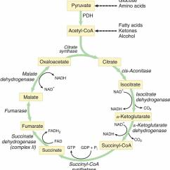 Glycolysis And Krebs Cycle Diagram Er For College Database Tca Mnemonic Simplified Biology