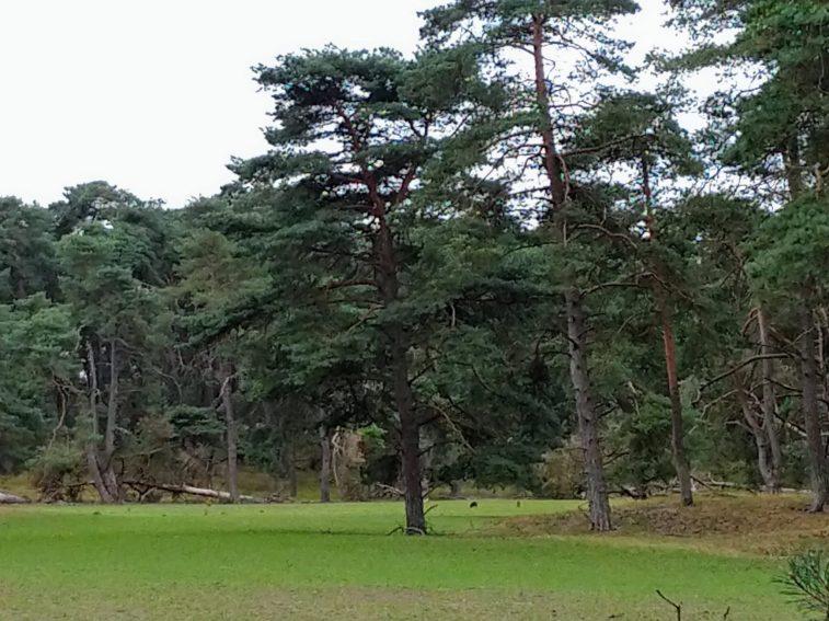 Everzwijnen in park de Hoge Veluwe bij het wildobservatiepunt
