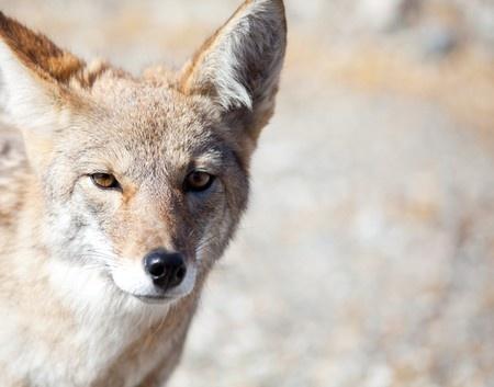 Coyote Hazing