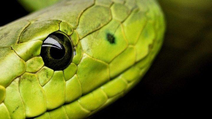 Schlangen (Reptilienforum)