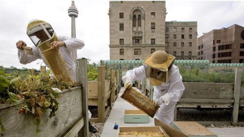 fairmont rooftop apiary