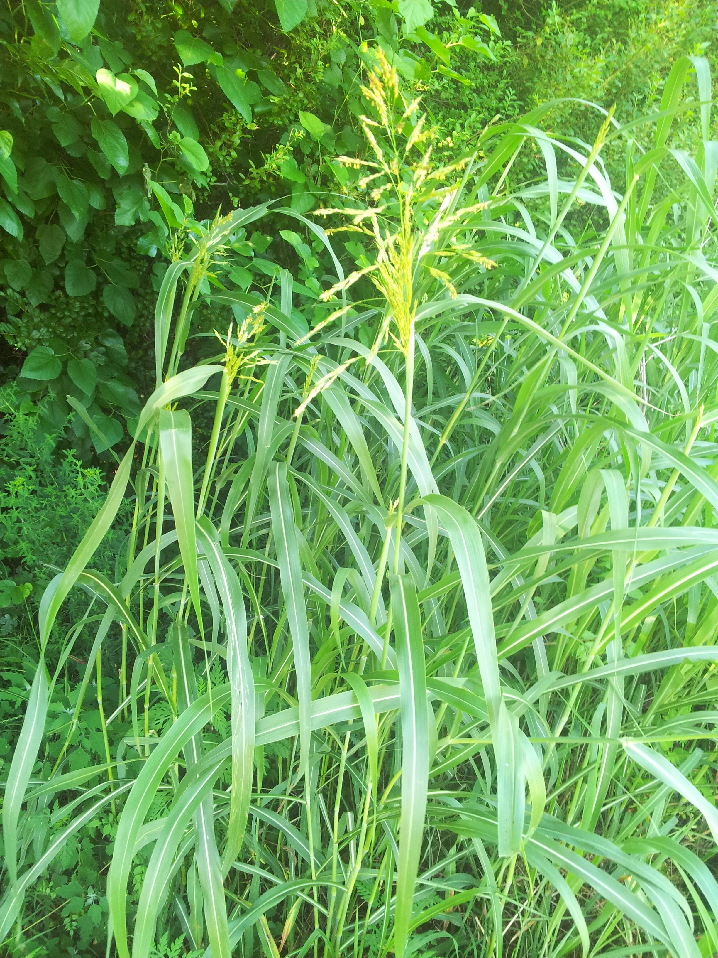 Grasses Amp Sedges A Guide To Virginia Plant Species