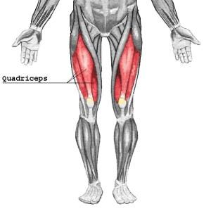 Quadriceps anatomy illustration