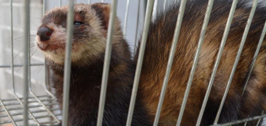 """Foto/video: """"Džudžan"""" ponovno uhvaćen u Rami"""