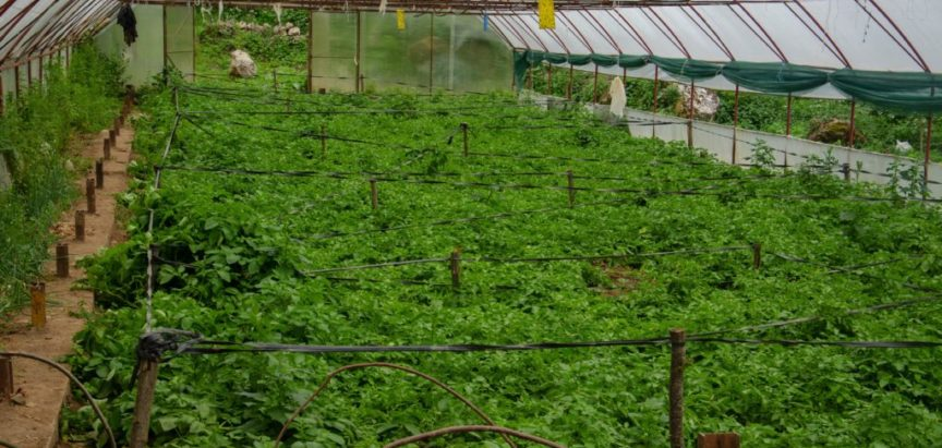 Foto: Mladi krumpir spreman za vađenje iz zemlje dok  se negdje tek sadi