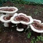 Humungous Fungus