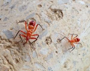 assassin-bugs
