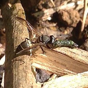 Small Black Wasp Attacking Caterpillar