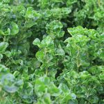 Healthy Spinach